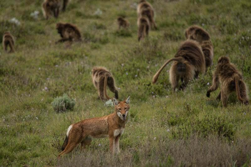 Singes & loups : modèle de domestication ?